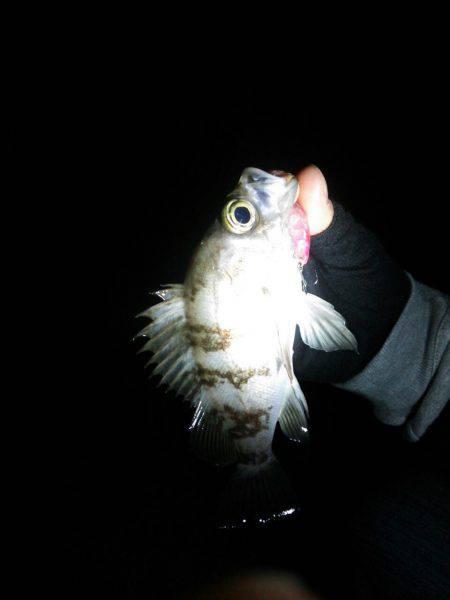 廿日市護岸  好調メバルプラッキング | 広島 | 釣果情報 堤防 ジギング 船釣 管理釣り場 釣り情報 | カンパリ全国版