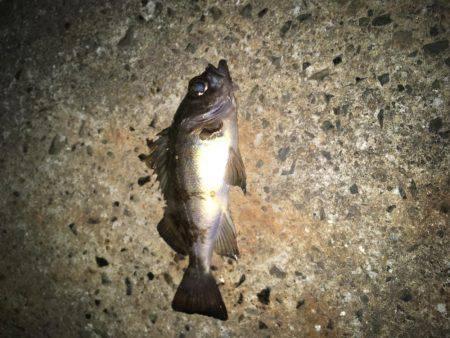初釣りメバリング | 広島 | 釣果情報 堤防 ジギング 船釣 管理釣り場 釣り情報 | カンパリ全国版