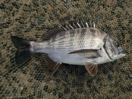 出直しのチヌ(メイタ) | 山口 | 釣果情報 堤防 ジギング 船釣 管理釣り場 釣り情報 | カンパリ全国版