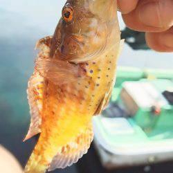 今年もガシラは付き合いがいい | 福井県 | 釣果情報 堤防 ジギング 船釣 管理釣り場 釣り情報 | カンパリ全国版
