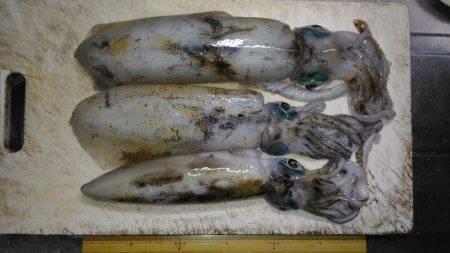 ヤエンでアオリイカ   徳島   釣果情報 堤防 ジギング 船釣 管理釣り場 釣り情報   カンパリ全国版