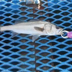 オリジナルメーカー海づり公園(市原市海づり施設) 釣果   千葉   釣果情報 堤防 ジギング 船釣 管理釣り場 釣り情報   カンパリ全国版