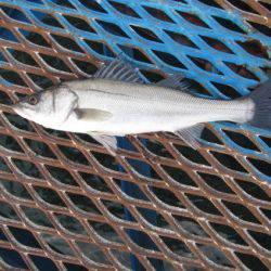 オリジナルメーカー海づり公園(市原市海づり施設) 釣果 | 千葉 | 釣果情報 堤防 ジギング 船釣 管理釣り場 釣り情報 | カンパリ全国版
