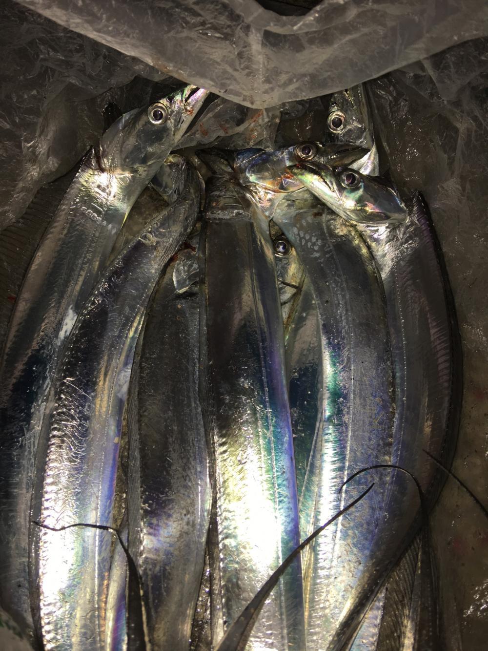 タチウオ(太刀魚) 和歌山