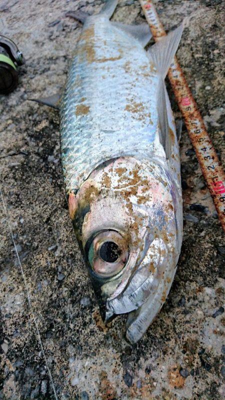 夕方港で古代魚ターポン!