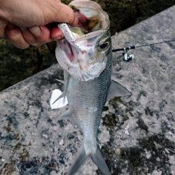 今年の初物釣れました❗ターポンです。