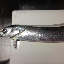 太刀魚とカサゴ