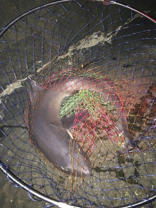 地上に引き上げたサメ1