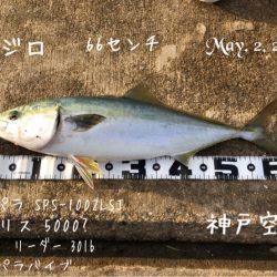 メジロ 66cm